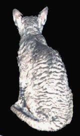 Cornish Rex Coat