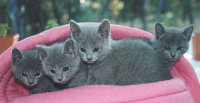 Hypoallergenic Cats Adelaide Russian Blue